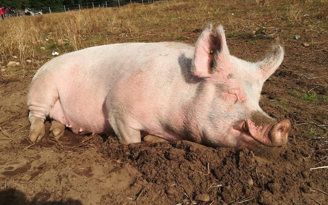Dierenwelzijn versus dierenrechten